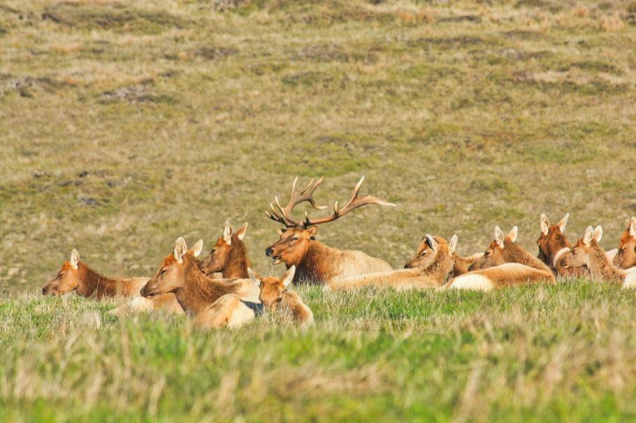 Tule elk, Point Reyes, Point Reyes National Seashore, Marin County, San Francisco, California, USA, fotoeins.com