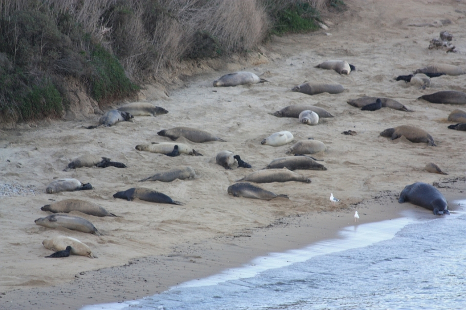 Elephant seals: bulls, cows, and pups, Point Reyes National Seashore