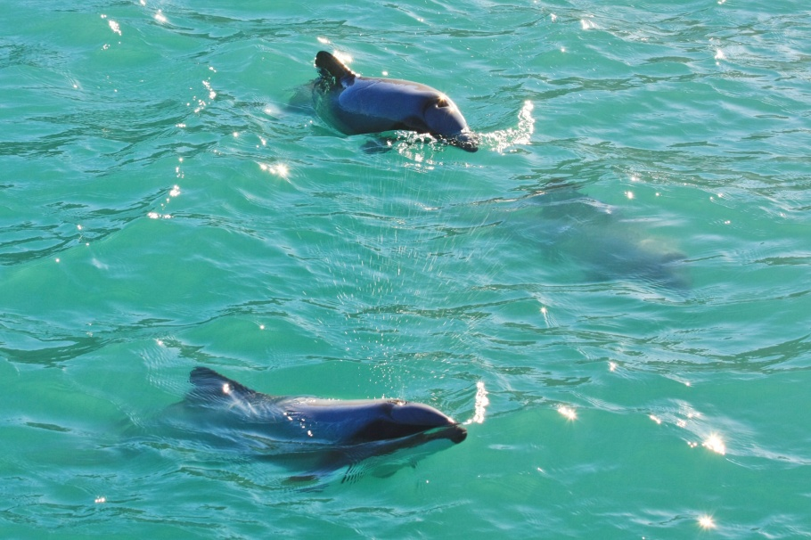 Hector's dolphins, Akaroa harbour, Canterbury, South Island, New Zealand, Pacific Ocean, fotoeins.com
