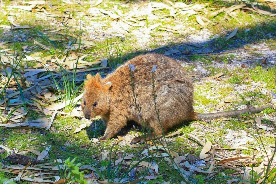 Quokka, marsupial, Rottnest Island, Rotto, Western Australia, Australia, fotoeins.com