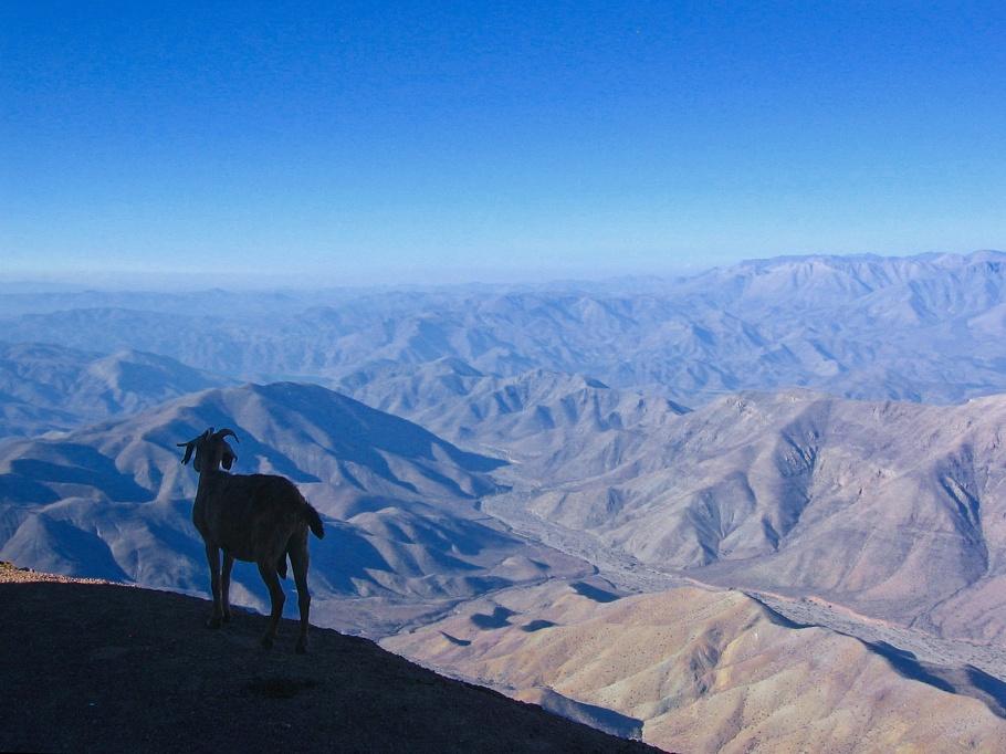 Cabra, goat, Cerro Tololo Interamerican Observatory, CTIO, Cerro Tololo, Región de Coquimbo, Chile, fotoeins.com