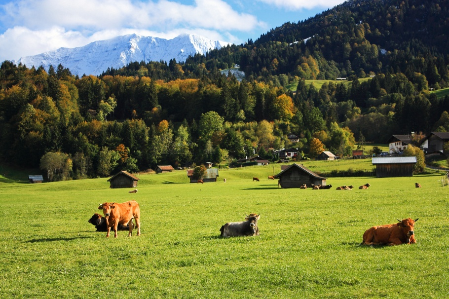 Bovines, meadows, Alps, Hausberg, Garmisch-Partenkirchen, Oberbayern, Upper Bavaria, Bavaria, Bayern, Germany, Deutschland,  fotoeins.com