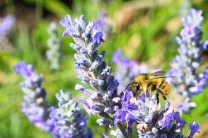 Lavender and bee, Argyle Village Gardens, Ambleside, West Vancouver, BC, Canada, fotoeins.com