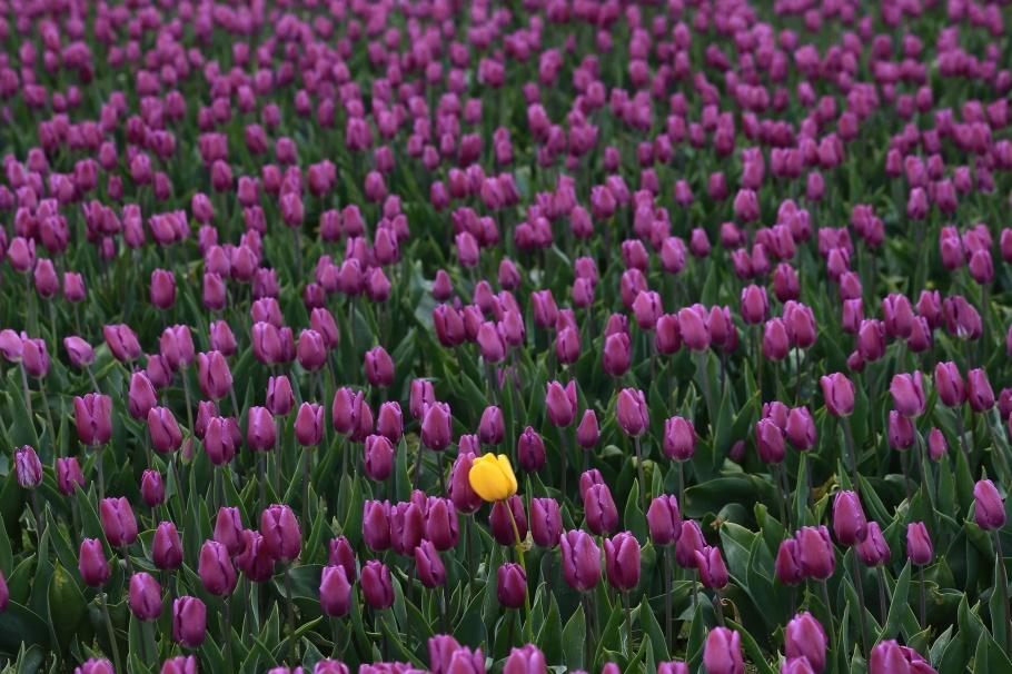 Roozengaarde, Skagit Valley Tulip Festival, Skagit Valley, Tulip Festival, tulips, Mount Vernon, WA, USA, fotoeins.com
