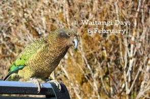 Kea, alpine parrot, Homer Tunnel, Milford Road, South Island, Te Waipounamu, Aotearoa, New Zealand, fotoeins.com