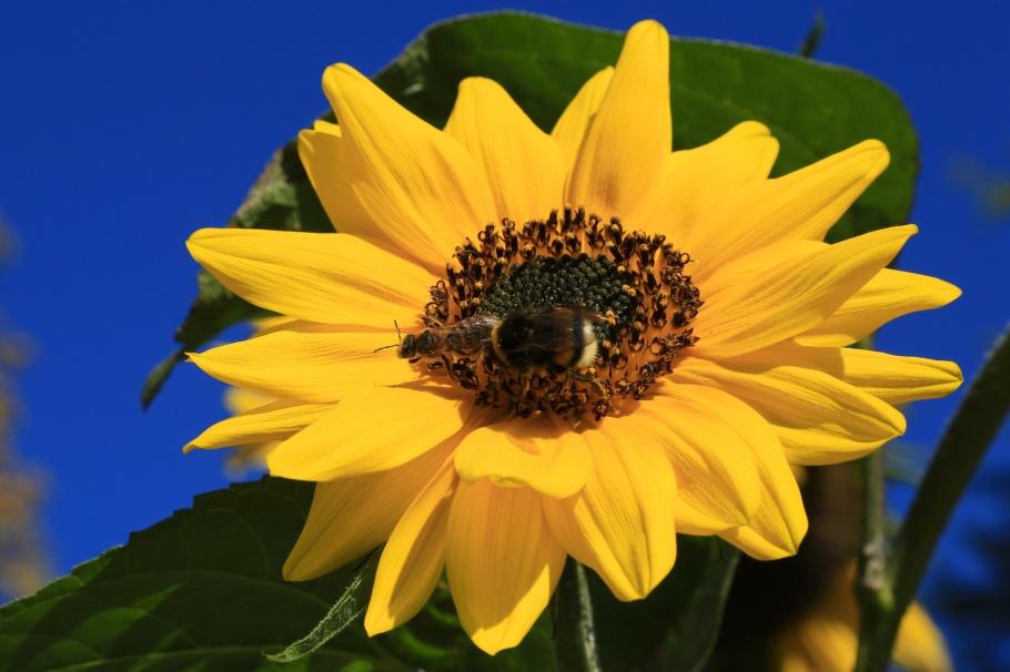 Sonnenblumen, Bienen, sunflowers, bees, Park Weinberg, Kassel, Hesse, Hessen, Germany, fotoeins.com