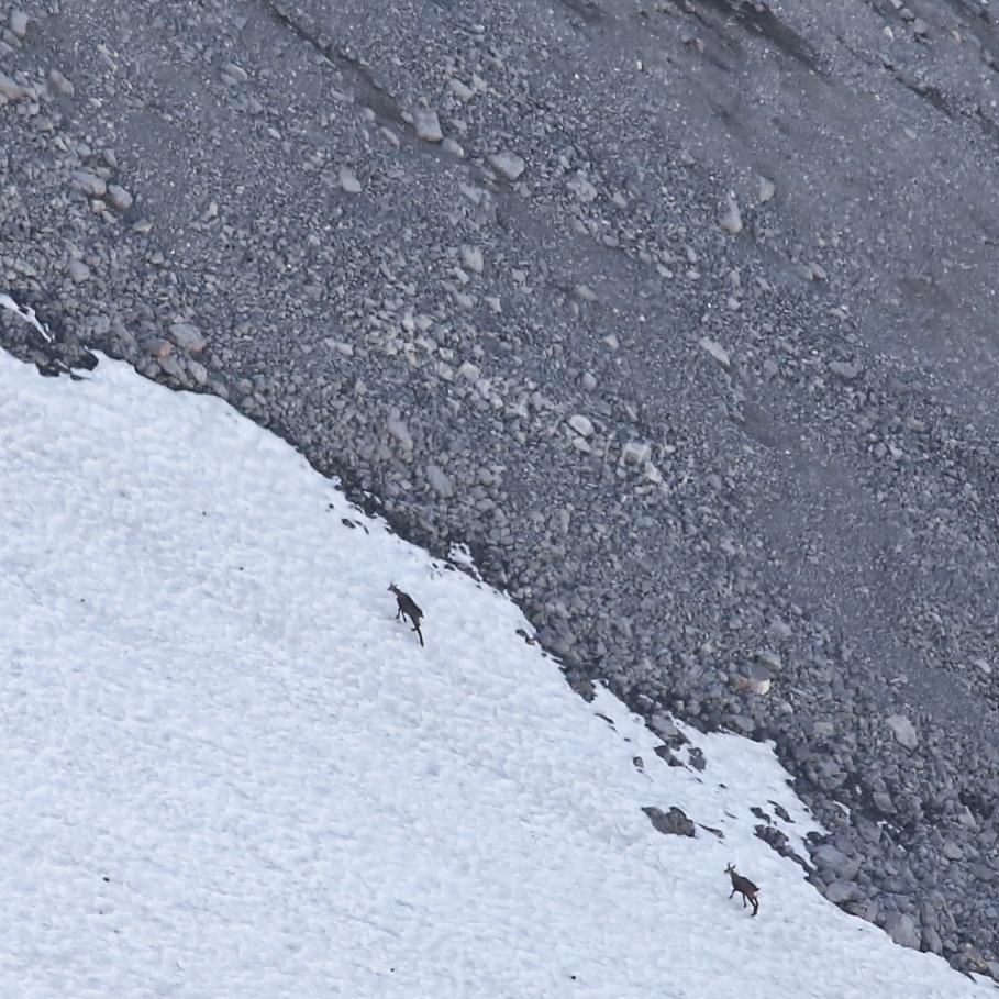 Mountain goats, fauna, Alpine fauna, Karwendel, Alpinewelt Karwendel, Bergwelt Karwendel, Mittenwald, Bavaria, Bayern, Germany, fotoeins.com