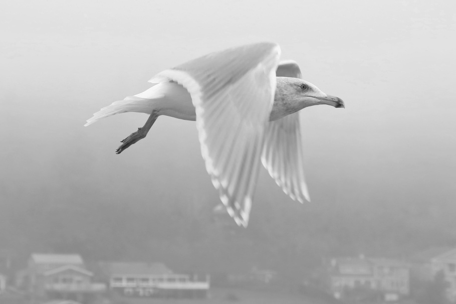 seagull, WSDOT Ferries, MV Kaleetan, ferry, Puget Sound, Salish Sea, Bremerton, Seattle, Washington, USA, fotoeins.com, black and white, monochrome