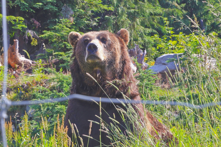 Coola, grizzly bear, Wildlife Refuge, Grouse Mountain, North Vancouver, BC, Canada, fotoeins.com