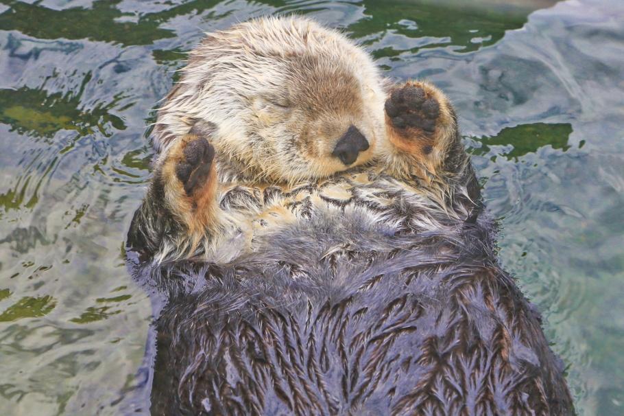 Sea otter, Vancouver Aquarium, Vancouver, BC, Canada, fotoeins.com
