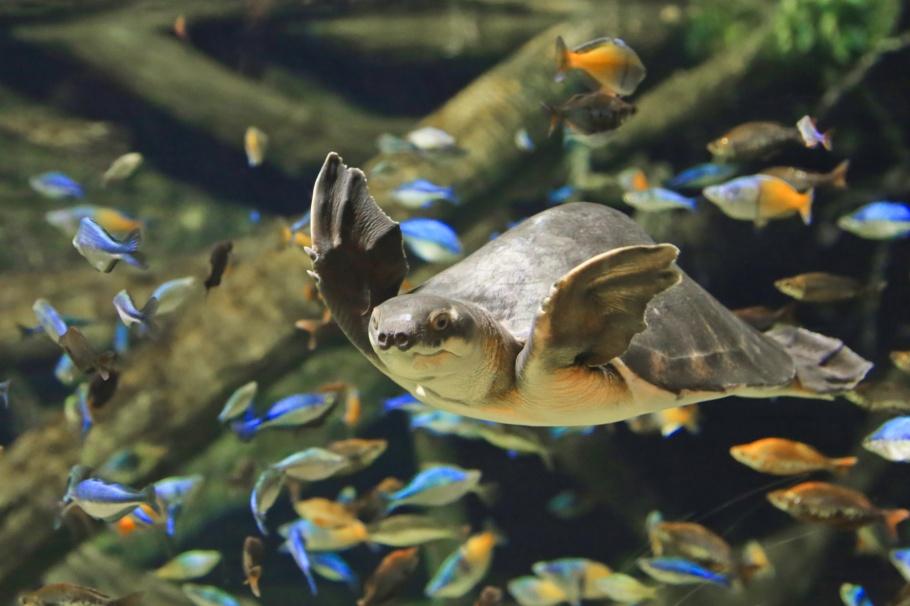 Pig-nosed turtle, Papua New Guinea, Vancouver Aquarium, Vancouver, BC, Canada, fotoeins.com