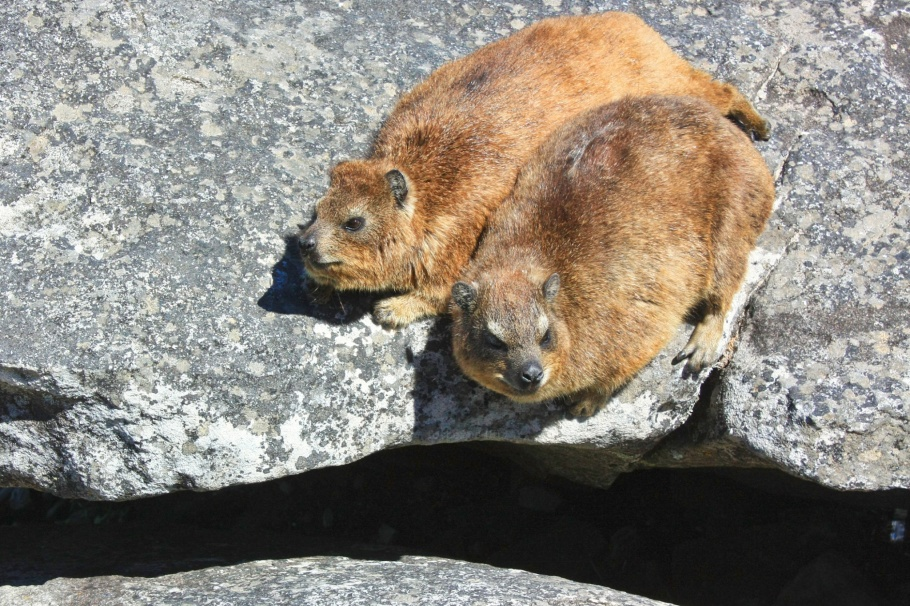 Dassies, Table Mountain National Park, Table Mountain, Indian Ocean, Atlantic Ocean, Cape Town, South Africa, fotoeins.com